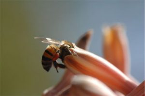 A foraging Worker Bee collecting Pollen and Nectar from Aloe Davyana.