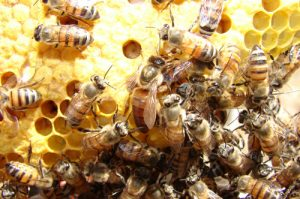 Spot the queen bee in the centre of the photograph. She is queen of her castle and gets special treatment wherever she goes. Without a queen a colony will die off.