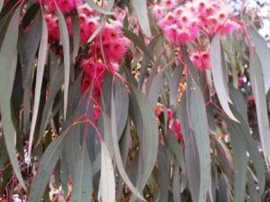 The Pink Iron Bark Eucalyptus tree is a rich source of nectar for bees in early winter on the Highveld.