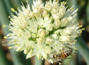 A honeybee foraging on Seed Onions as part of a Commercial Pollination Programme.