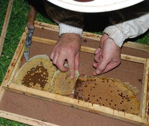 New Honeycomb is pure white in colour and is darkened with propolis by the bees. Note the rich brood pattern in the comb on the right.