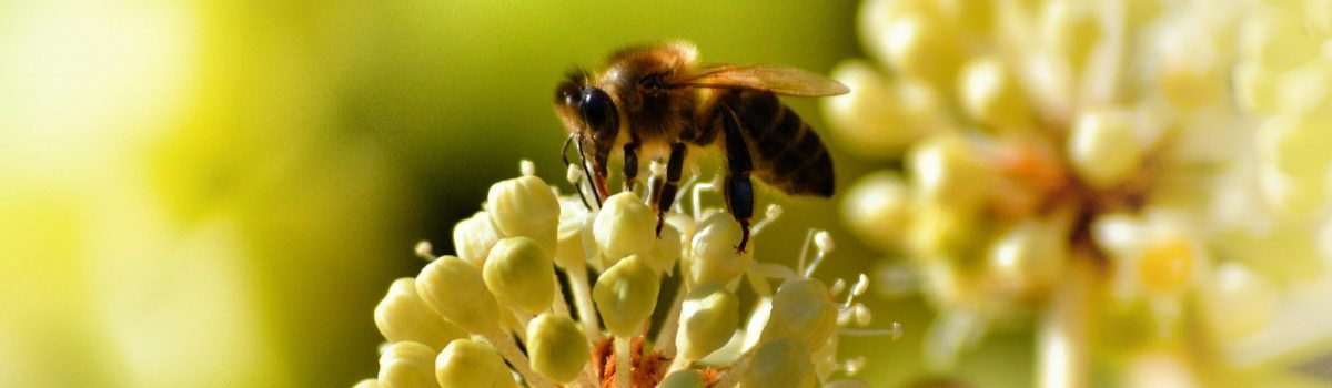 Bees and Agriculture: The Connection, the Crisis, and How to Help
