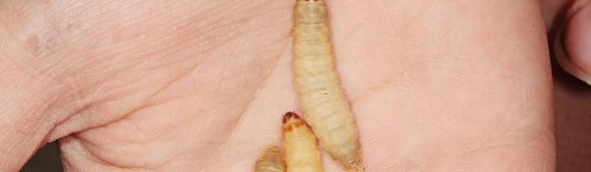 Scientists have discovered that wax worms can eat plastic bags.